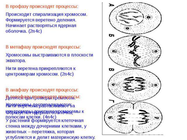 В профазу происходят процессы:Происходит спирализация хромосом. Формируется веретено деления. Начинает растворяться ядерная оболочка. (2n4c)В метафазу происходят процессы:Хромосомы выстраиваются в плоскости экватора.Нити веретена прикрепляются к цен…