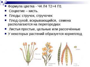 Формула цветка - Ч4 Л4 Т2+4 П1 Соцветие – кисть. Плоды: стручок, стручочек Плод