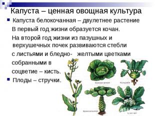 Капуста белокочанная – двулетнее растение В первый год жизни образуется кочан. Н