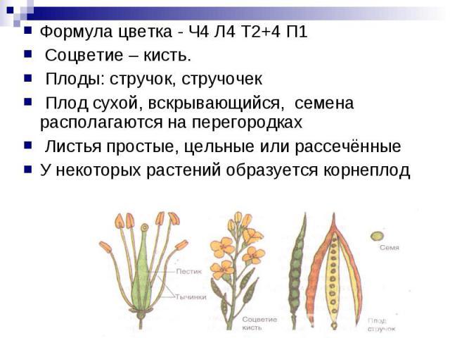 Формула цветка - Ч4 Л4 Т2+4 П1 Соцветие – кисть. Плоды: стручок, стручочек Плод сухой, вскрывающийся, семена располагаются на перегородках Листья простые, цельные или рассечённыеУ некоторых растений образуется корнеплод