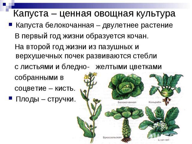 Капуста белокочанная – двулетнее растение В первый год жизни образуется кочан. На второй год жизни из пазушных и верхушечных почек развиваются стебли с листьями и бледно- желтыми цветками собранными в соцветие – кисть.Плоды – стручки.