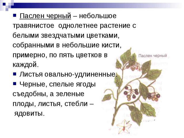 Паслен черный – небольшоетравянистое однолетнее растение сбелыми звездчатыми цветками,собранными в небольшие кисти,примерно, по пять цветков в каждой.Листья овально-удлиненные. Черные, спелые ягоды съедобны, а зеленые плоды, листья, стебли – ядовиты.