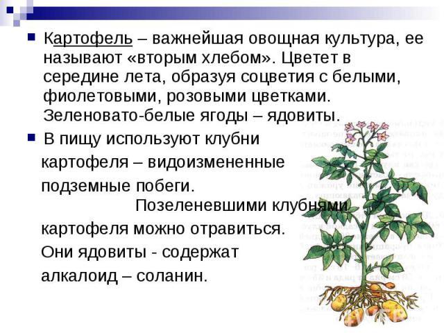Картофель – важнейшая овощная культура, ее называют «вторым хлебом». Цветет в середине лета, образуя соцветия с белыми, фиолетовыми, розовыми цветками. Зеленовато-белые ягоды – ядовиты.В пищу используют клубни картофеля – видоизмененные подземные по…