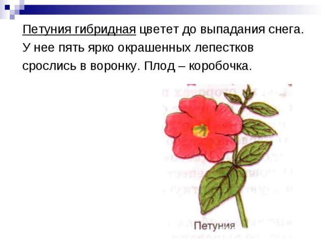 Петуния гибридная цветет до выпадания снега.У нее пять ярко окрашенных лепестковсрослись в воронку. Плод – коробочка.