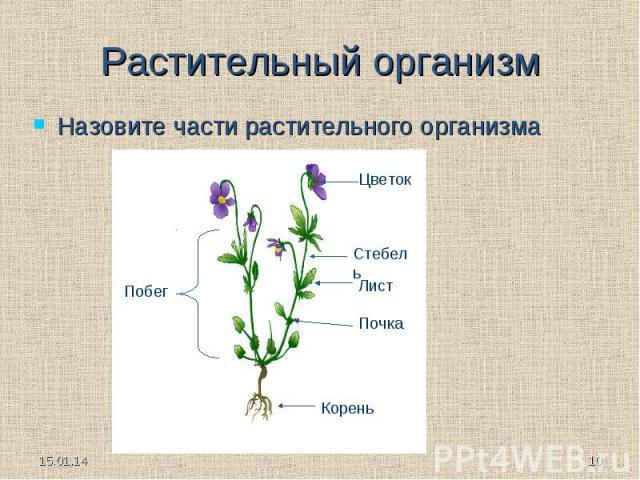 Растительный организм Назовите части растительного организма