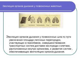 Эволюция органов дыхания у позвоночных животных. Эволюция органов дыхания у позв