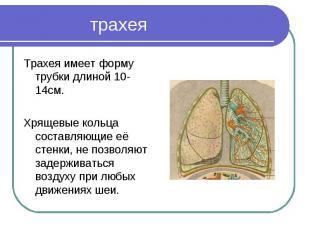 Трахея имеет форму трубки длиной 10-14см.Хрящевые кольца составляющие её стенки,