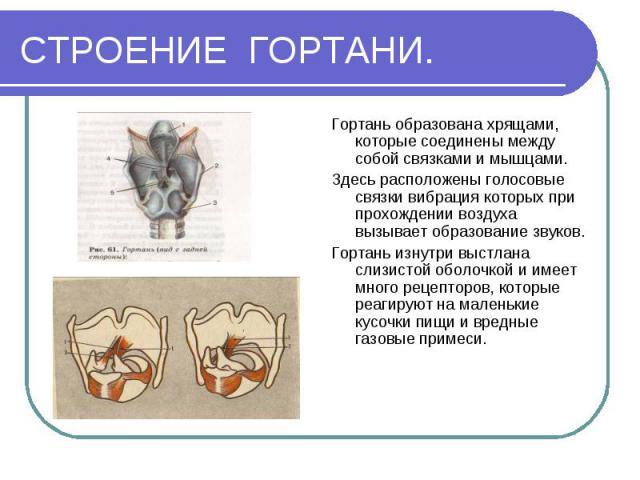 СТРОЕНИЕ ГОРТАНИ. Гортань образована хрящами, которые соединены между собой связками и мышцами.Здесь расположены голосовые связки вибрация которых при прохождении воздуха вызывает образование звуков.Гортань изнутри выстлана слизистой оболочкой и име…