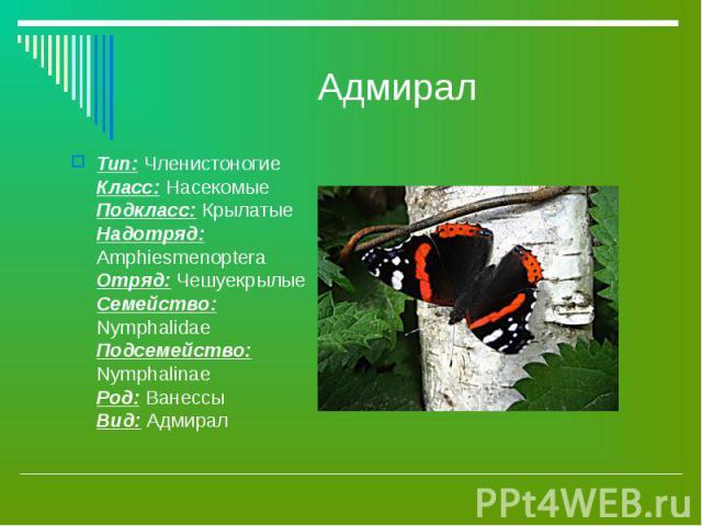 Адмирал Тип: Членистоногие Класс: Насекомые Подкласс: Крылатые Надотряд: Amphiesmenoptera Отряд: Чешуекрылые Семейство: Nymphalidae Подсемейство: Nymphalinae Род: Ванессы Вид: Адмирал