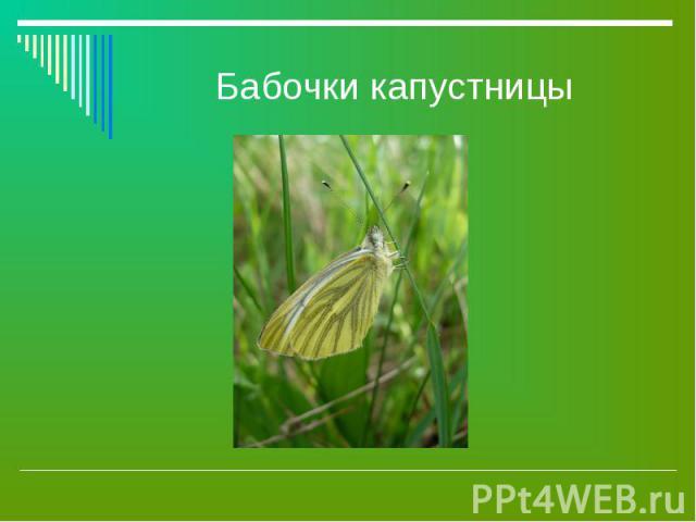 Бабочки капустницы
