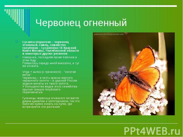 Червонец огненный Lycaena virgaureae – червонец огненный, самец, семейство голубянки – Lycaenidae / В Красной Книге Москвы, Челябинской области и некоторых других регионовНаверное, последняя яркая бабочка в этом году… Появилась передо мной внезапно,…