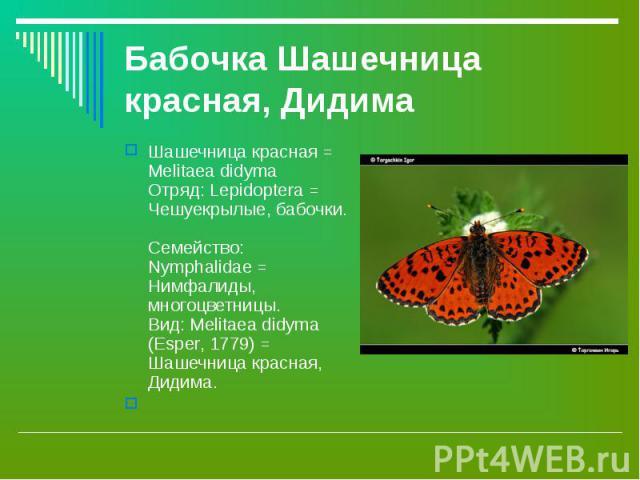 Бабочка Шашечница красная, Дидима Шашечница красная = Melitaea didyma Отряд: Lepidoptera = Чешуекрылые, бабочки. Семейство: Nymphalidae = Нимфалиды, многоцветницы. Вид: Melitaea didyma (Esper, 1779) = Шашечница красная, Дидима.