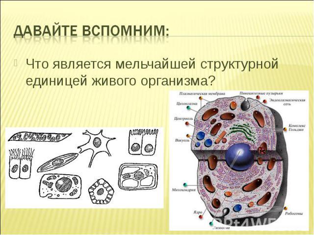 Что является мельчайшей структурной единицей живого организма?