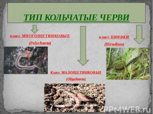 ТИП КОЛЬЧАТЫЕ ЧЕРВИ класс МНОГОЩЕТИНКОВЫЕ(Polychaeta) класс ПИЯВКИ(Hirudinea Кла