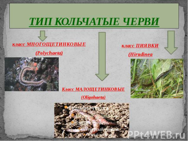 ТИП КОЛЬЧАТЫЕ ЧЕРВИ класс МНОГОЩЕТИНКОВЫЕ(Polychaeta) класс ПИЯВКИ(Hirudinea Класс МАЛОЩЕТИНКОВЫЕ(Oligohaeta)