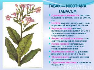 Однолетнее травянистое растение высотой 70-100 см,, реже до 200-300 см. Стебель