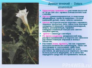 Дурман вонючий - Datura stramonium Однолетнее травянистое растение высотой от 30