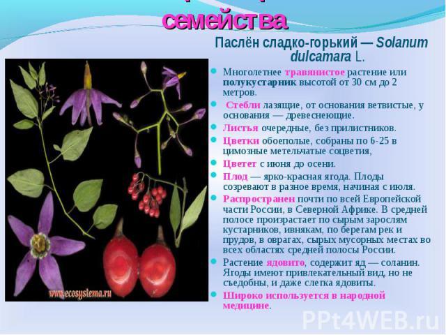 Многообразие растений семейства Паслён сладко-горький — Solanum dulcamara L.Многолетнее травянистое растение или полукустарник высотой от 30 см до 2 метров. Стебли лазящие, от основания ветвистые, у основания — древеснеющие.Листья очередные, без при…
