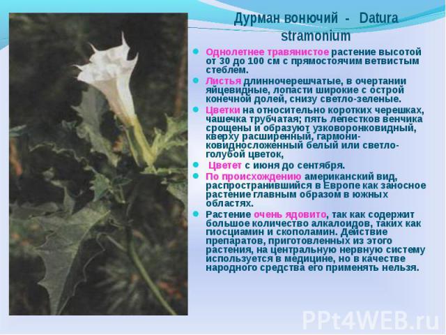 Дурман вонючий - Datura stramonium Однолетнее травянистое растение высотой от 30 до 100 см с прямостоячим ветвистым стеблем. Листья длинночерешчатые, в очертании яйцевидные, лопасти широкие с ocтpoй конечной долей, снизу светло-зеленые. Цветки на от…