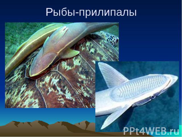 Рыбы-прилипалы