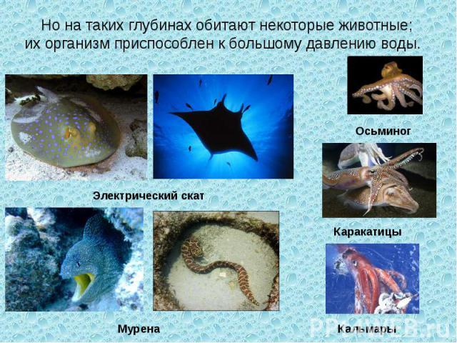Но на таких глубинах обитают некоторые животные; их организм приспособлен к большому давлению воды. Электрический скат Мурена Осьминог Каракатицы