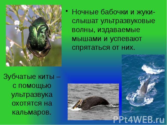 Ночные бабочки и жуки- слышат ультразвуковые волны, издаваемые мышами и успевают спрятаться от них. Зубчатые киты – с помощью ультразвука охотятся на кальмаров.