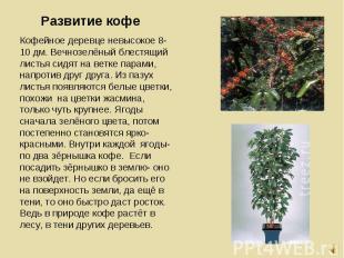 Кофейное деревце невысокое 8-10 дм. Вечнозелёный блестящий листья сидят на ветке