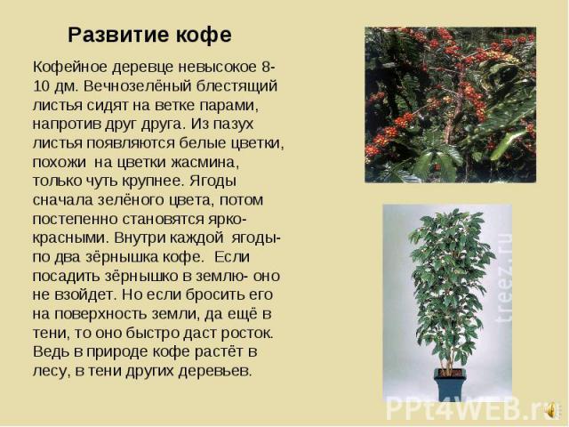 Кофейное деревце невысокое 8-10 дм. Вечнозелёный блестящий листья сидят на ветке парами, напротив друг друга. Из пазух листья появляются белые цветки, похожи на цветки жасмина, только чуть крупнее. Ягоды сначала зелёного цвета, потом постепенно стан…