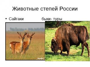 Сайгаки быки- туры Животные степей России