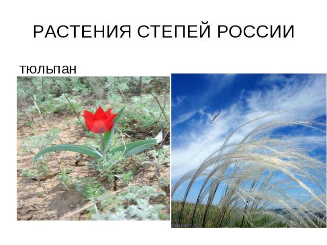 РАСТЕНИЯ СТЕПЕЙ РОССИИ тюльпан