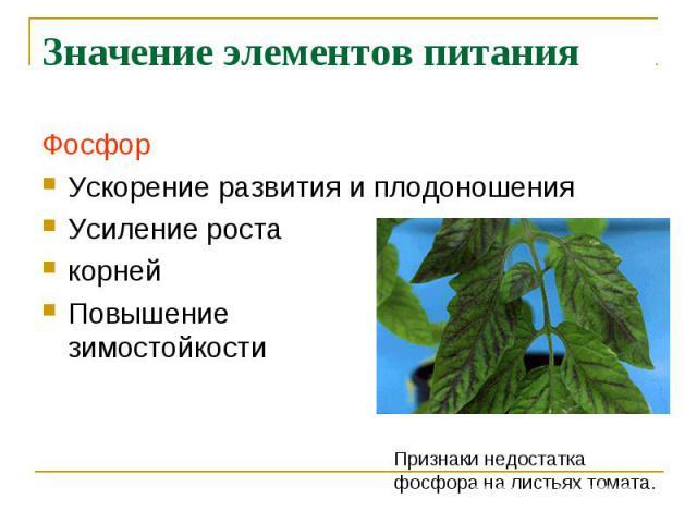 Значение элементов питания ФосфорУскорение развития и плодоношенияУсиление ростакорнейПовышениезимостойкости Признаки недостаткафосфора на листьях томата.