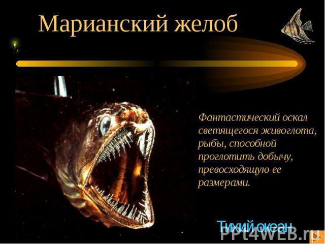 Марианский желоб Фантастический оскалсветящегося живоглота,рыбы, способной проглотить добычу,превосходящую ееразмерами.