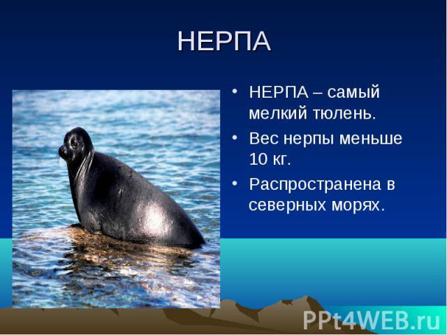 НЕРПАНЕРПА – самый мелкий тюлень.Вес нерпы меньше 10 кг.Распространена в северных морях.