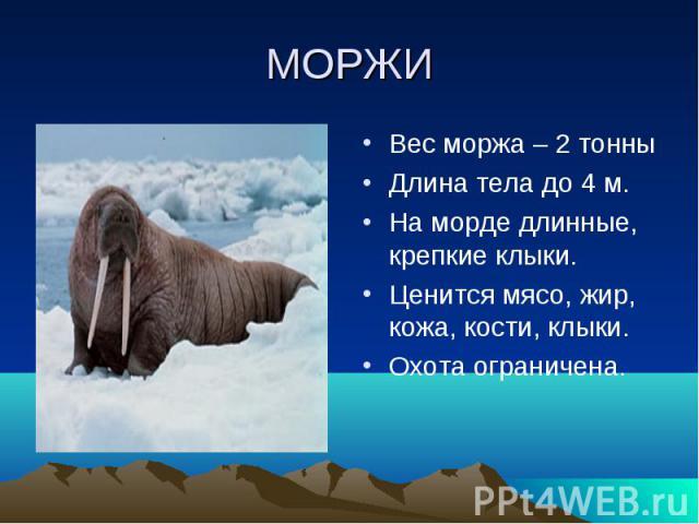 МОРЖИВес моржа – 2 тонныДлина тела до 4 м.На морде длинные, крепкие клыки.Ценится мясо, жир, кожа, кости, клыки.Охота ограничена.