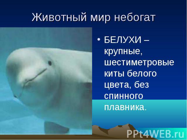 Животный мир небогатБЕЛУХИ –крупные, шестиметровые киты белого цвета, без спинного плавника.