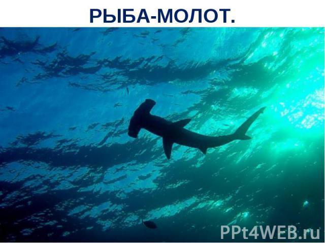 РЫБА-МОЛОТ.