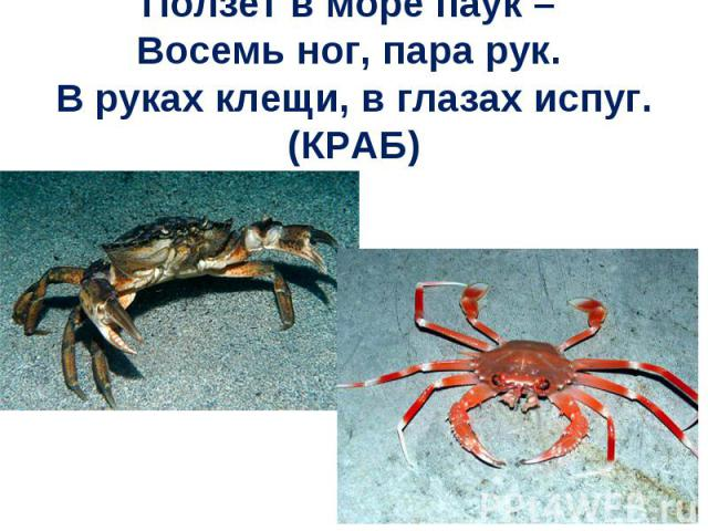 Ползет в море паук – Восемь ног, пара рук. В руках клещи, в глазах испуг. (КРАБ)