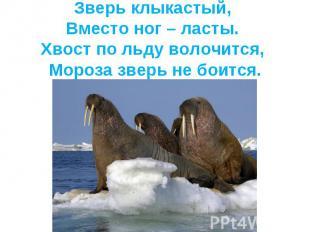Зверь клыкастый, Вместо ног – ласты. Хвост по льду волочится, Мороза зверь не бо