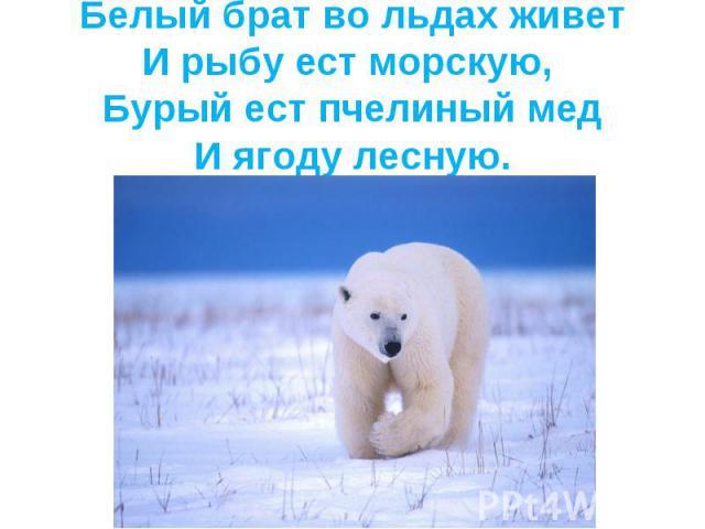 Белый брат во льдах живетИ рыбу ест морскую, Бурый ест пчелиный медИ ягоду лесную.