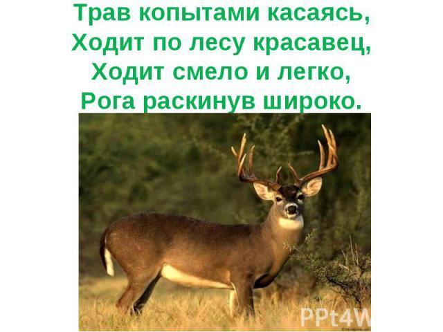 Трав копытами касаясь,Ходит по лесу красавец,Ходит смело и легко,Рога раскинув широко.