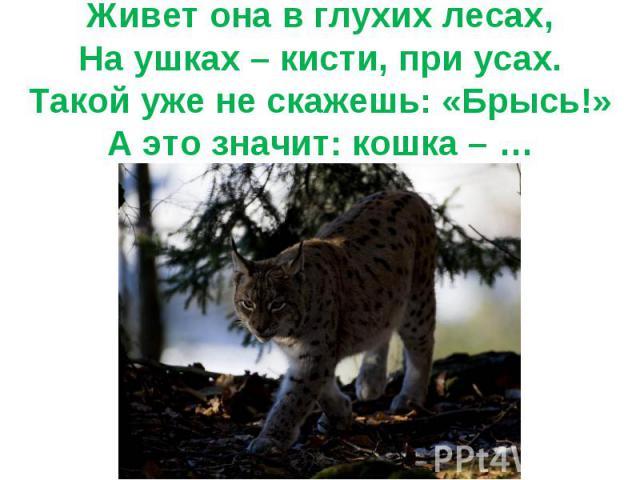 Живет она в глухих лесах,На ушках – кисти, при усах.Такой уже не скажешь: «Брысь!»А это значит: кошка – …