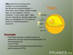 Ядро имеется в клетках всех эукариот за исключением эритроцитов млекопитающих. У