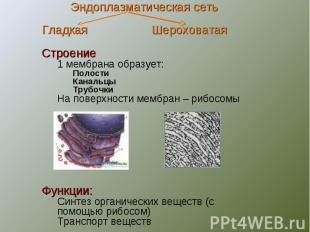 Эндоплазматическая сетьГладкая ШероховатаяСтроение1 мембрана образует:ПолостиКан