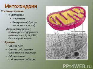 МитохондрииСостав и строение:2 Мембраны НаружнаяВнутренняя(образует выросты – кр