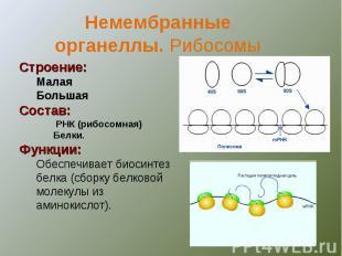 Немембранныеорганеллы. Рибосомы Строение:МалаяБольшаяСостав: РНК (рибосомная)Бел
