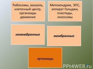 Рибосомы, вакуоль, клеточный центр, органоиды движенияМитохондрии, ЭПС, аппарат