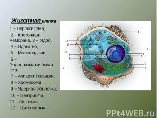 1 – Пероксисома, 2 – Клеточная мембрана, 3 – Ядро, 4 – Ядрышко, 5 – Митохондрии,