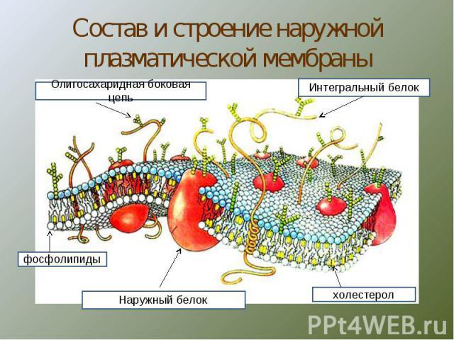 Состав и строение наружной плазматической мембраны