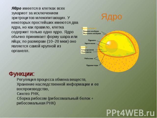 Ядро имеется в клетках всех эукариот за исключением эритроцитов млекопитающих. У некоторых простейших имеются два ядра, но как правило, клетка содержит только одно ядро. Ядро обычно принимает форму шара или яйца; по размерам (10–20мкм) оно является…