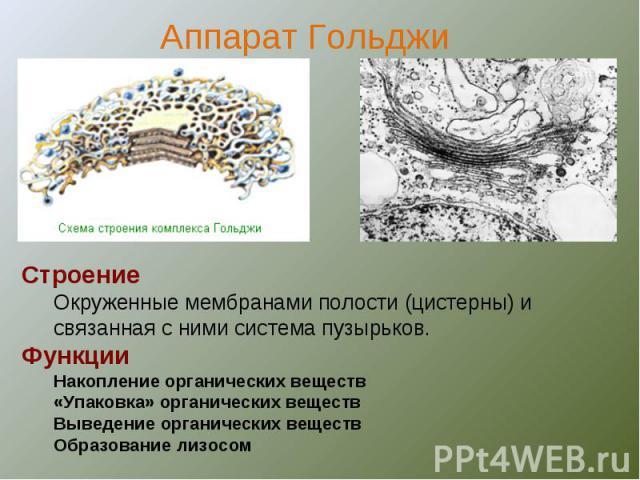 СтроениеОкруженные мембранами полости (цистерны) и связанная с ними система пузырьков.ФункцииНакопление органических веществ«Упаковка» органических веществВыведение органических веществОбразование лизосом